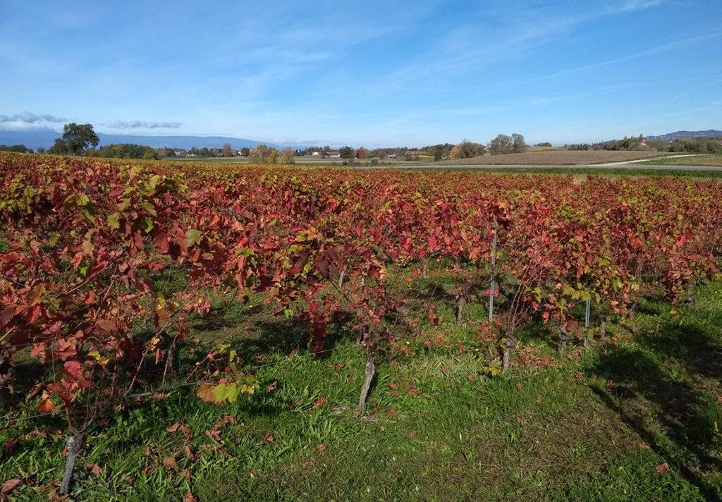 Sortie proche de la Haute-Savoie balade dans les vignes