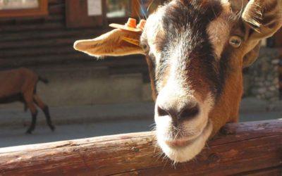Montriond : balade aux Lindarets le village des chèvres